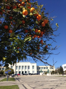 Orange trees along the entry IPS.